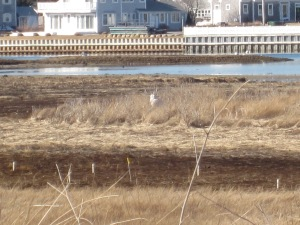 The Cape Cod Snowy Owl